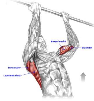 Подтягивания на перекладине -упражнение прекрасно подходит для развития широчайшей мышцы спины, большой круглой мышцы...